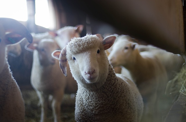 ニュージーランド 羊