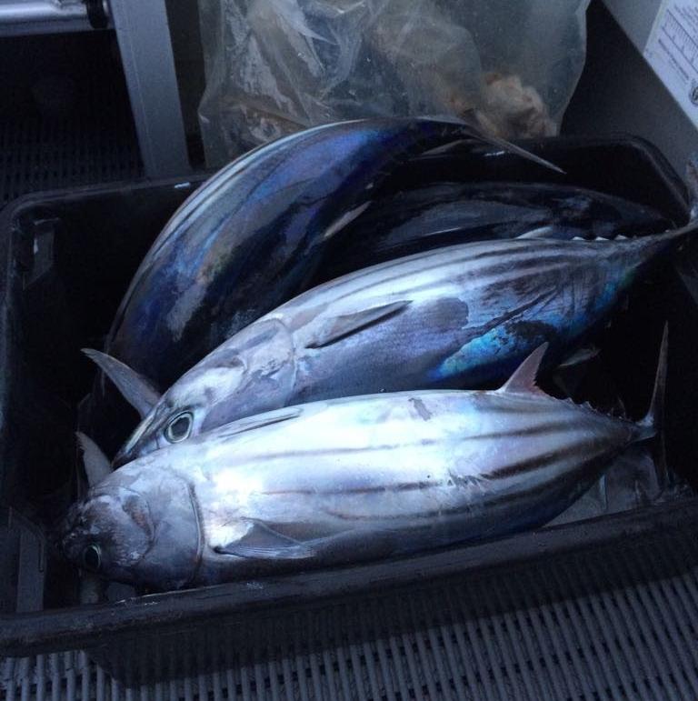 ニュージーランド ラグラン船釣り トロ―リング かつお